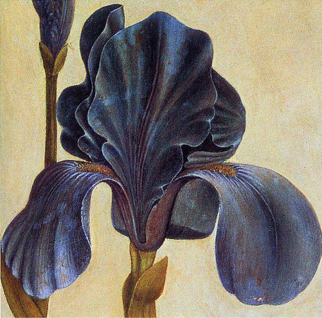 Albrecht Durer Iris troiana detail