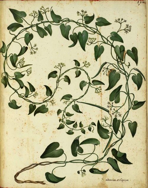 Ulisse Aldrovandi (1599)