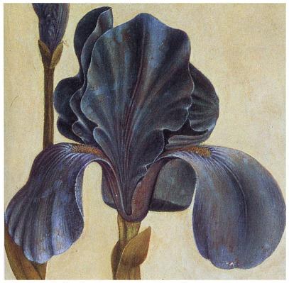 troiana-iris-detail