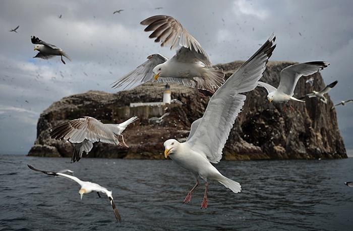 Gannets-of-Dunbar-island-007