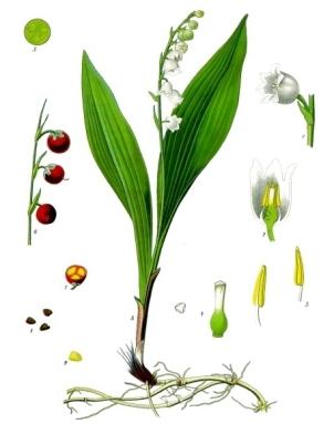 Convallaria_majalis_-_Köhler–s_Medizinal-Pflanzen-045