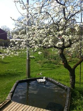 Plommonträdet med anka
